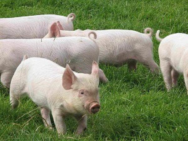 Кіровоградщина не допустить спалаху африканської чуми свиней